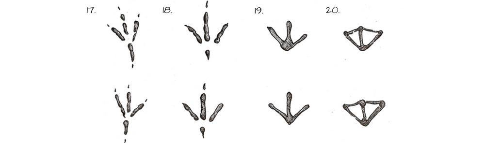 Tracce di animali - impronte di uccelli