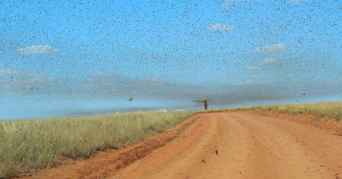 sciame di locuste nel deserto - invasione di cavallette